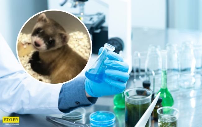 Ученые клонировали исчезающе животное: как выглядит хорек, выращенный в лаборатории