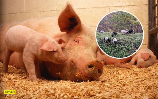 В Харькове по улицам бегала семья свиней с уткой: курьез попал на видео