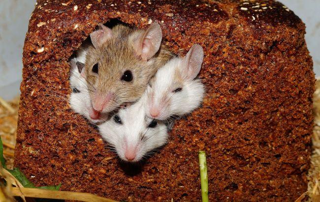 Одного назвали Жорой: в одесском супермаркете в упаковке овсянки жили мыши (видео)
