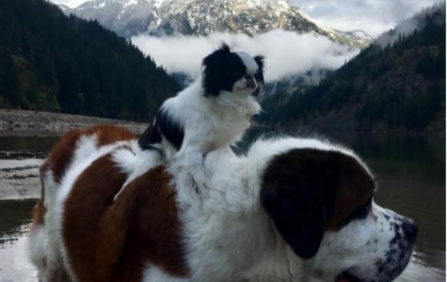 Лучшие друзья: маленькая собачка путешествует верхом на сенбернаре