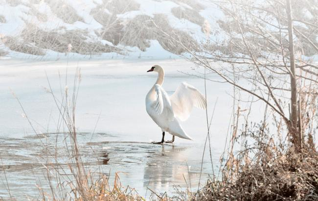 Фото: Белый лебедь (othereal.net)