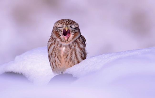 Фото: Сова в снігу