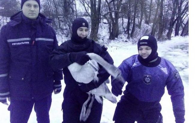 У Києві з замерзаючої водойми врятували лебедя