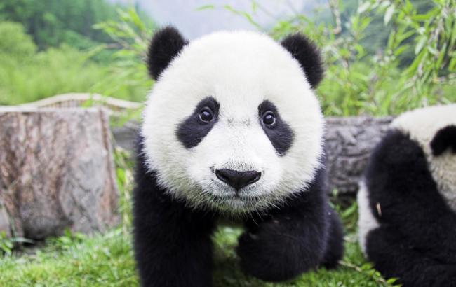 У Китаї на працівника одного з центрів з охорони і дослідження великих панд  в провінції Сичуань напала панда. Тварина зламало чоловікові дві руки  завдало ... 346848f85f26b