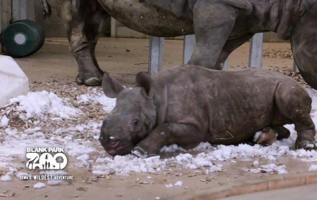 Фото: Кроха-носорог впервые увидел снег (sundaynews.info)