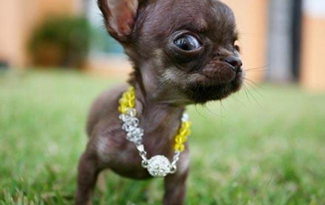 Маленька собачка потай від господаря з'їла сережку з діамантом