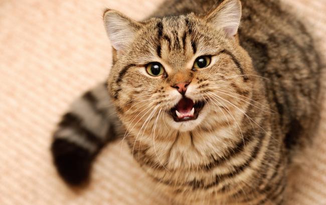 Дбайливий кот-акушер допоміг козі з пологами
