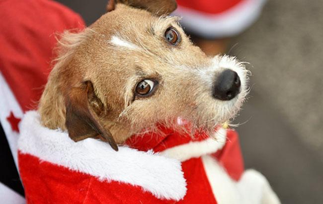 Фото: Собака в костюмі (Sputnik)