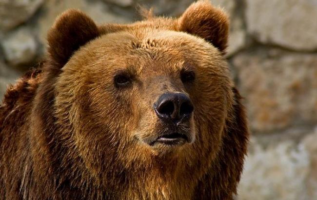 Фото: Бурий ведмідь