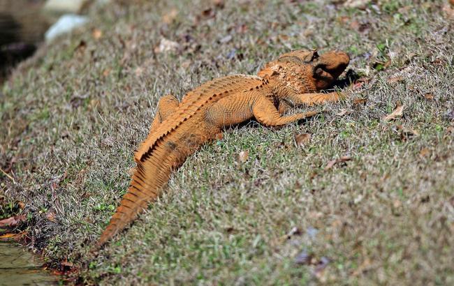 Фото: Оранжевый аллигатор