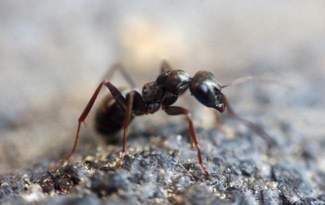 Вчені створили бігову доріжку для мурахи