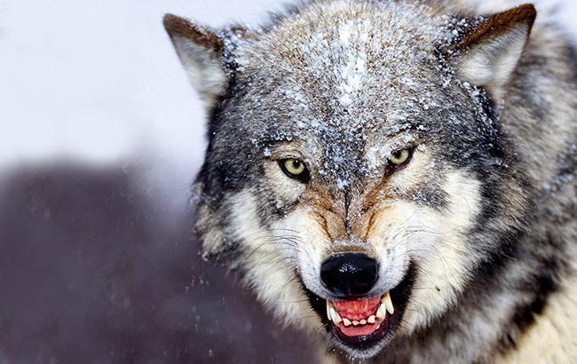 Фото: Нападение волков (flickr.com)