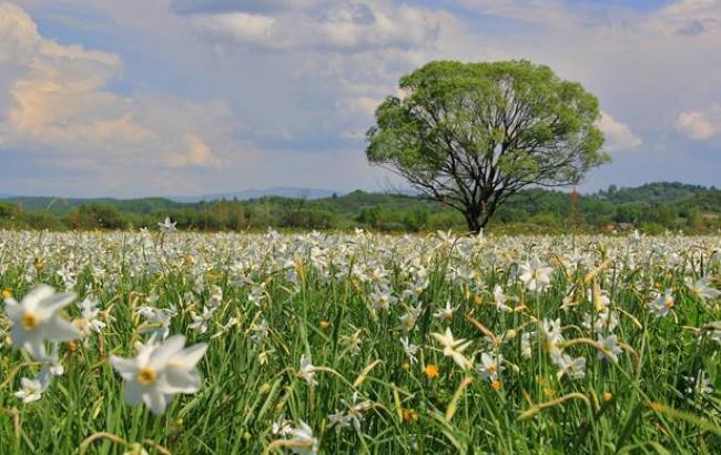 Фото:Долина нарцисів (facebook.com/Карпатський-біосферний-заповідник)