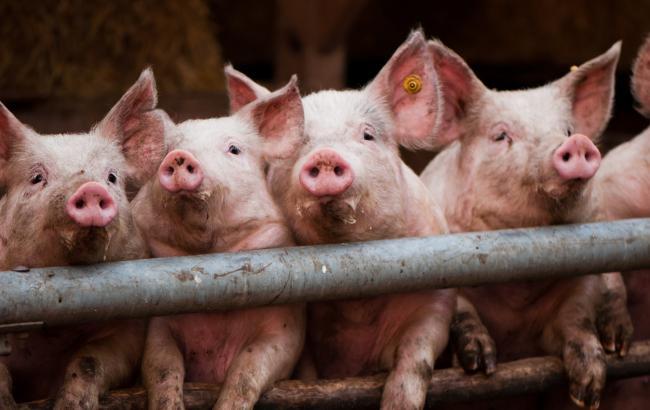 Фото: свиньи