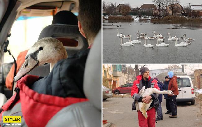 В Украине умирают лебеди: как узнать, что благородным птицам нужна помощь