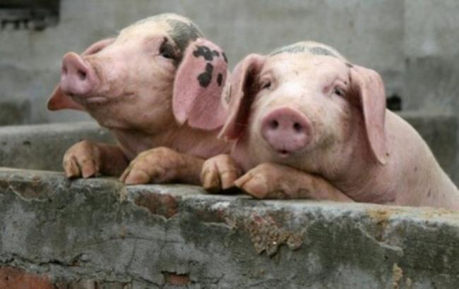 Фото: в Україні спалах африканської чуми свиней