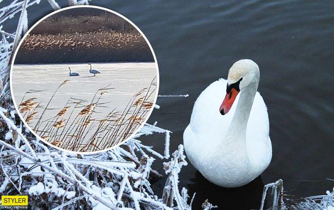 Ледяная ловушка: под Запорожьем к пруду примерзли лебеди (фото)