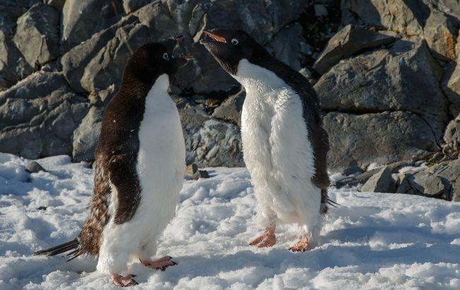 """Украинские полярники показали """"разборки"""" пингвинов на забавных фото"""