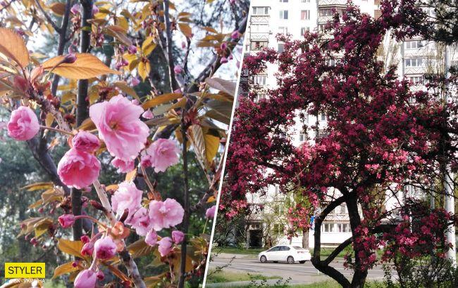 В Киеве зацвела самая длинная аллея сакур Украины: появились красочные фото
