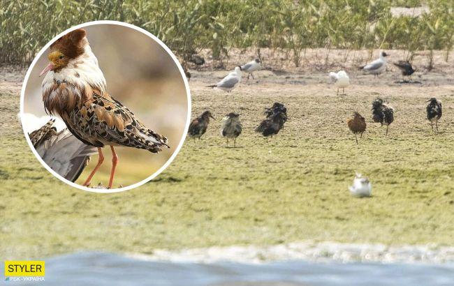 Таких птиц вы еще не видели! Под Одессой заметили уникальных представителей тундры