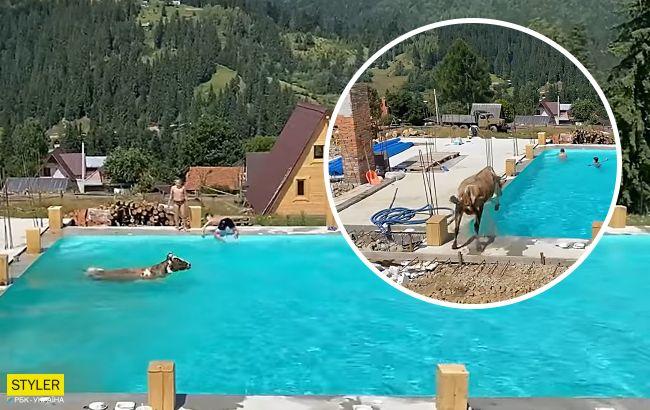 """Корова прыгнула """"бомбочкой"""" и искупалась в бассейне: видео с карпатского курорта взрывает сеть"""