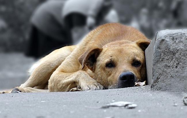 Фото: Бродячі собаки (tulasmi.ru)
