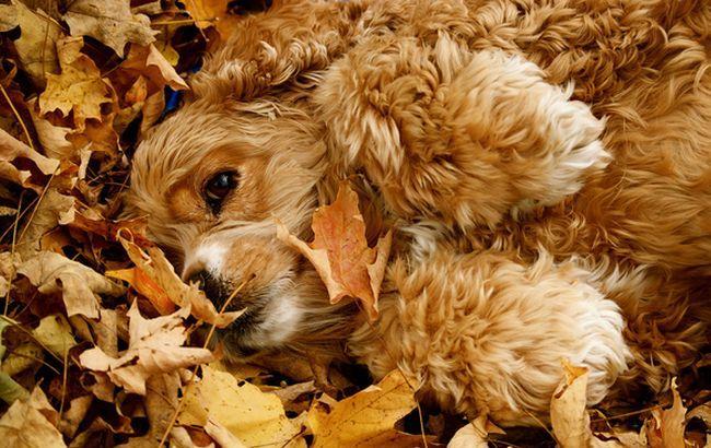 Фото: Собака в осенних листьях (foxyhome.ru)