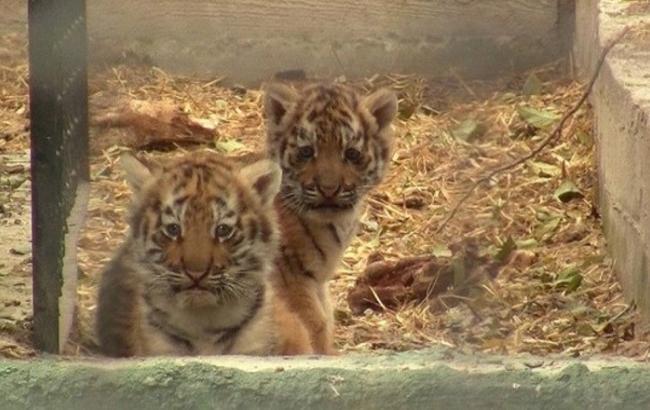 Фото: Тигрята (ТСН)