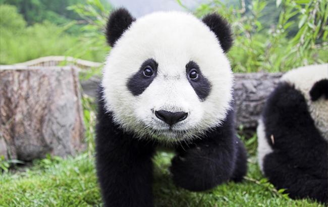 Фото: Панда