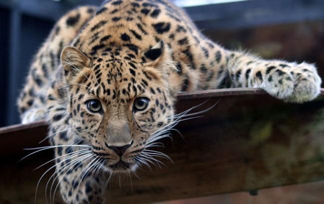 Фото: Далекосхідний леопард, вимираючий вид (aif.ru)