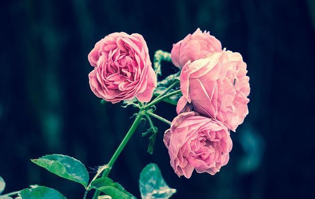 Розы (фото: pixabay.com)