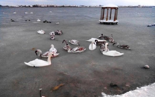 Фото: Стая лебедей примерзла к озеру (82.mchs.gov.rut)