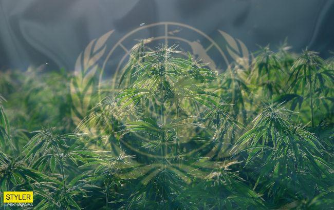 ООН исключила каннабис из списка опасных наркотиков: голос Украины стал решающим