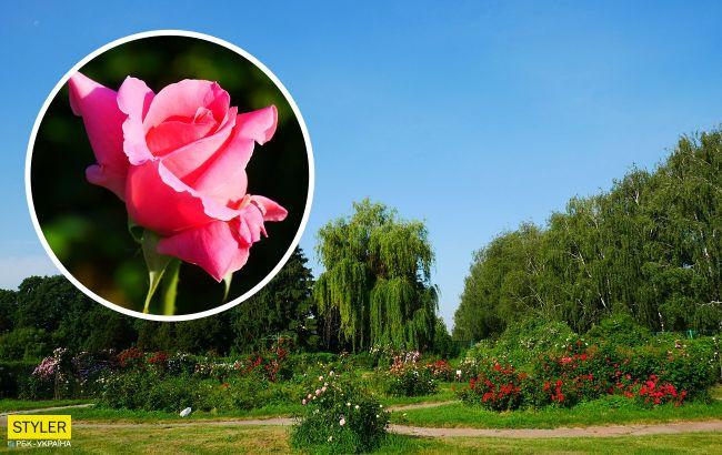 В Киеве распустились уникальные розы: неземную красоту показали на фото