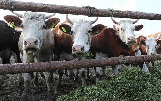 Фото: коровы (РБК-Украина)