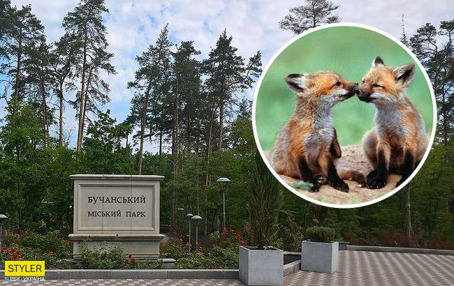 В людному парку під Києвом оселилася зграя лисиць: їдять навіть морозиво
