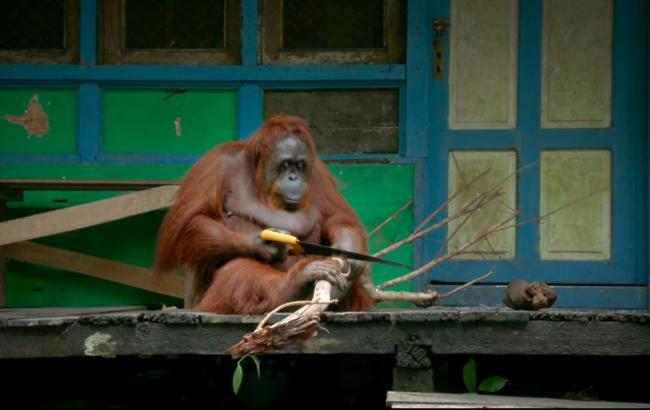 Фото: Орангутан