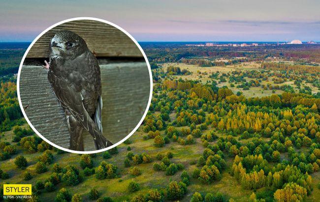 В Чернобыле показали родственника колибри, который не умеет ходить по земле