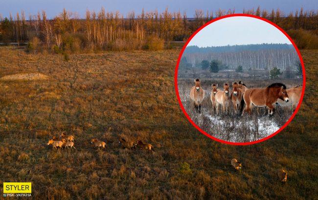 В Чернобыле лошади Пржевальского гибнут в браконьерских ловушках: бездушные циники!