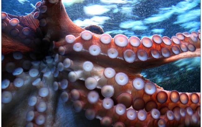 Такого еще не видели: гигантский кальмар в Мексиканском заливе шокировал ученых (видео)