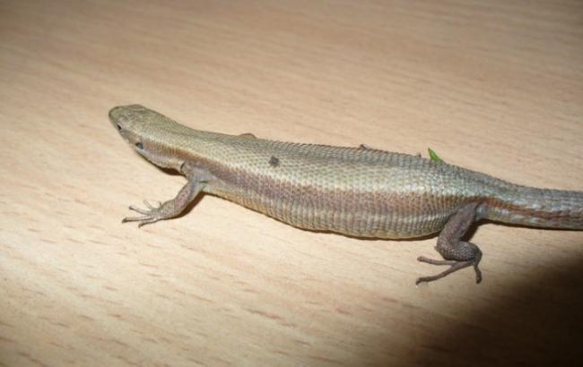 Фото: Ящірка