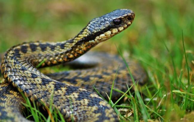 Киевлян предупредили об активизации ядовитых змей