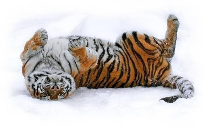 У Китаї зв'язали рідкісного амурського тигра заради фотографій з твариною
