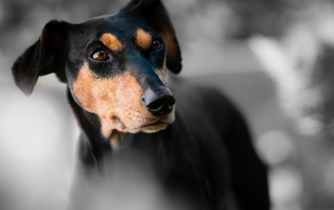 Фото: Собака (pixabay.com/ru/users/wiggijo)