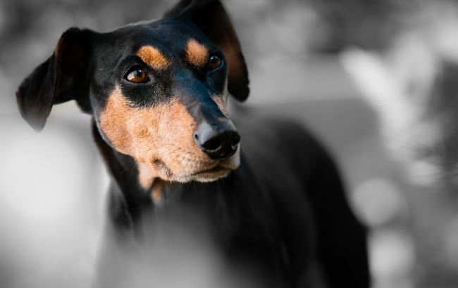 Фото: Собака спасла хозяина (pixabay.com/rwiggijo)