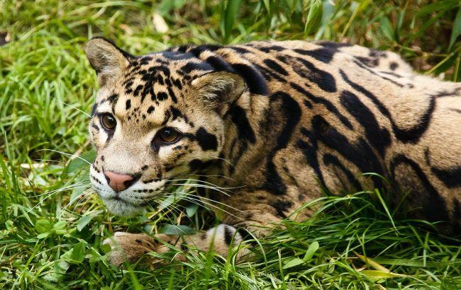 Жителей Ивано-Франковска терроризируют леопардом (видео)