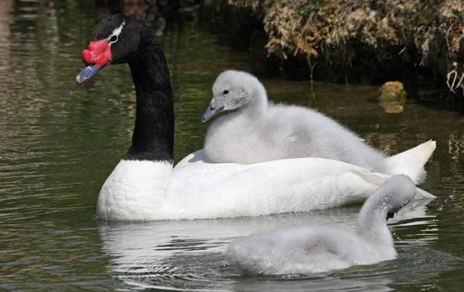 Фото: Черношейные лебеди (animalsglobe.ru)