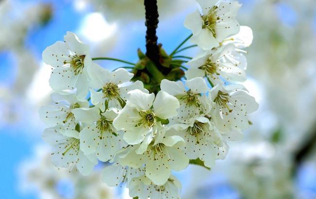 Фото: Яблоня (pixabay.com/suju)
