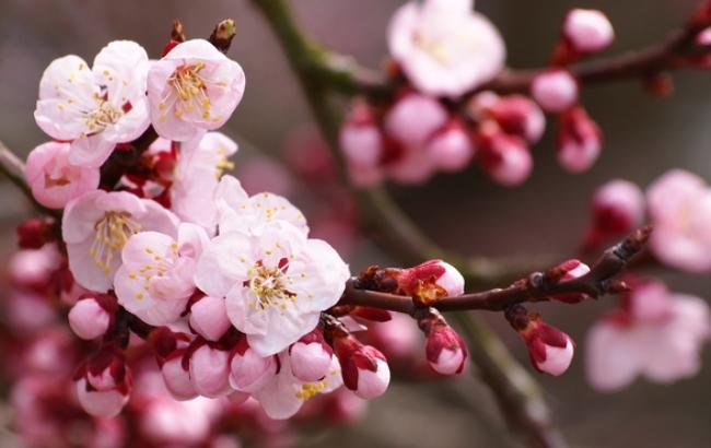 Фото: Цветение абрикоса (freeimages.com/Makio Kusahara)