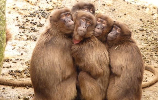 Людей просять не приймати агресію мавп за позитивний настрій